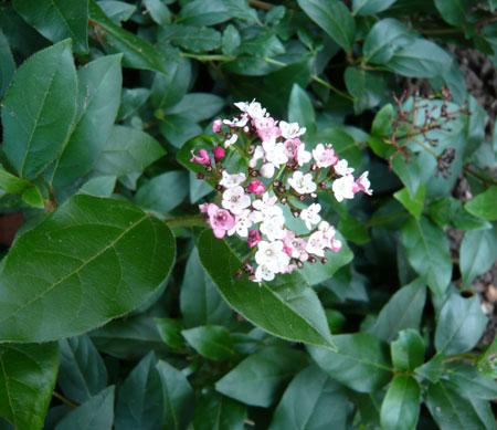 pink-bush.jpg